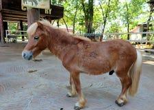 Dwalf horse. Brown dwalf horse Royalty Free Stock Images