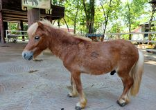 Dwalf-Pferd Lizenzfreie Stockbilder