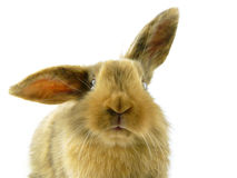 Dwarf. Funny portrait of a dwarf rabbit in front of white background Royalty Free Stock Photo