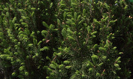 Dwarf Alberta spruce Stock Photos