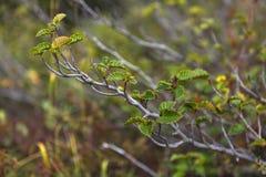 Dwarf alder closeup. Dwarf alder branch with leaves closeup, Chukotka Russia royalty free stock photos