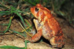Dwarf American Toad Royalty Free Stock Photo