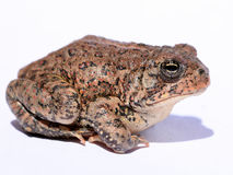 Dwarf American Toad. (Anaxyrus americanus) portrait Royalty Free Stock Photo