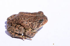 Dwarf American Toad. (Anaxyrus americanus) portrait royalty free stock image