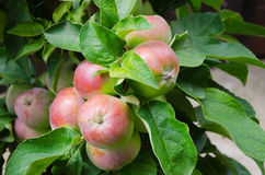 Dwarf apple. On tree with green foliage in garden Stock Photo