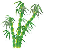Dwarf bamboo. Vector illustration on dwarf buddha belly bamboo with leaves on white background. The illustation is available in eps Stock Image
