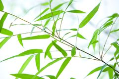 Dwarf bamboo on thin branches. Miniature dwarf bamboo on thin branches Royalty Free Stock Photos
