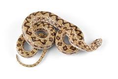 Dwarf beaked snake. (Dipsina multimaculata) on white Stock Photos