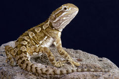 Dwarf bearded dragon / Pogona henrylawsoni Royalty Free Stock Photo