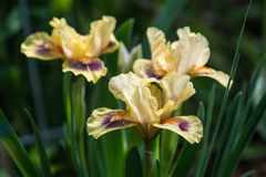 Dwarf bearded iris Royalty Free Stock Photos