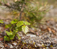 Dwarf Birch Stock Photos