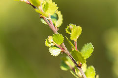 Dwarf birch Betula nana Royalty Free Stock Photo