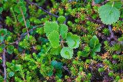 Dwarf birch at extreme north region Royalty Free Stock Images
