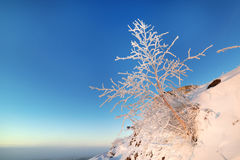 Dwarf birch growing on the mountainside. Royalty Free Stock Image