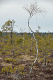 A dwarf birch in the marshland. Stock Photography