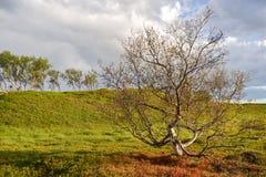Dwarf birch trees Stock Photo