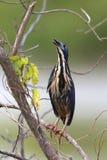 Dwarf Bittern Bird Stock Images