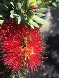 Dwarf Bottlebrush Plant. A close up view of a red dwarf bottlebrush, Callistemon, bloom Royalty Free Stock Photo