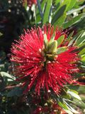 Dwarf Bottlebrush Plant. A close up view of a red dwarf bottlebrush, Callistemon, bloom Royalty Free Stock Photography