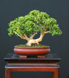 Dwarf boxwood bonsai Stock Image