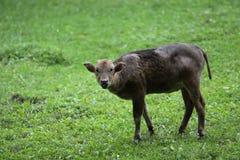 Dwarf buffalo juvenile. The gazing juvenile of dwarf buffalo Stock Photos
