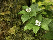 The dwarf bunchberry (Cornus unalaschkensis) Stock Images