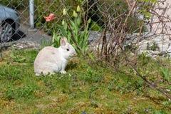 Dwarf bunny in the garden. Dwarf bunny enjoys the sun in the garden Stock Photos