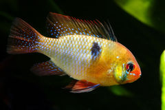 Dwarf butterfly cichlid Royalty Free Stock Photo