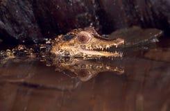 Dwarf caiman(paleosuchus palpebrosus) Royalty Free Stock Image