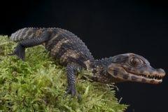 Dwarf Caiman / Paleosuchus palpebrosus Stock Images