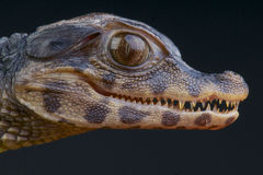 Dwarf Caiman / Paleosuchus palpebrosus Royalty Free Stock Image