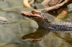 Dwarf caiman in the water Royalty Free Stock Photography