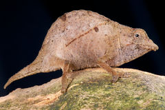 Dwarf chameleon Stock Photo