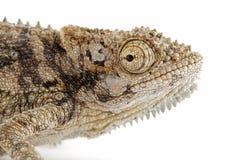 Dwarf chameleon Stock Images