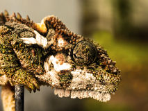 Dwarf Chameleon head 4. A close-up view of a Dwarf Chameleon's head and eye royalty free stock photos
