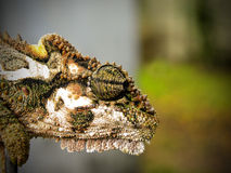 Dwarf Chameleon head 5. A close-up view of a Dwarf Chameleon's head and eye royalty free stock photos