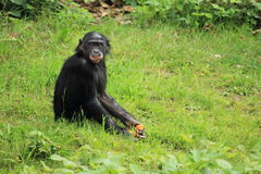 Dwarf chimpanzee. The young dwarf chimpanzee sitting in the grass stock photography