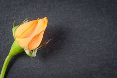 Dwarf Chinese rose flower with orange petals, close-up on dark stone background.  stock photos