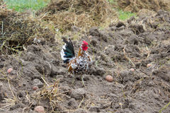 Dwarf cock. Bentham breed dwarf cock on a black ground Royalty Free Stock Photo