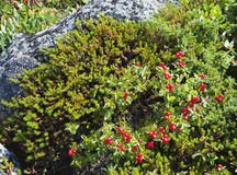 Dwarf cornel with berries Royalty Free Stock Image