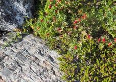 Dwarf cornel with berries Stock Photos