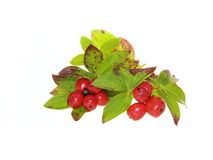 Dwarf cornel berries Royalty Free Stock Photo