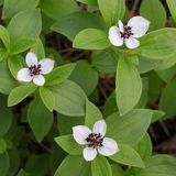 Dwarf cornel,  Cornus suecica. Dwarf cornel known also as Bunchberry, Cornus suecica Royalty Free Stock Photo