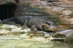 Dwarf crocodile Royalty Free Stock Image