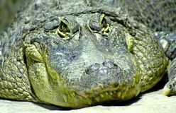Dwarf crocodile 3 Stock Photos