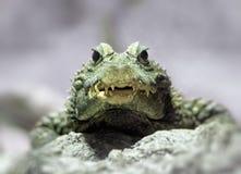 Dwarf crocodile Stock Photo