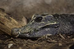 Dwarf crocodile Osteolaemus tetraspis. Also known as the African dwarf crocodile Royalty Free Stock Photo