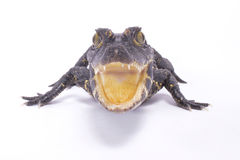 Dwarf crocodile,Osteolaemus tetraspis. The heavily armored Dwarf crocodile,Osteolaemus tetraspis, is found in Central Africa and semi-terrestrial Stock Image