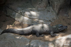 Dwarf Crocodile stock image