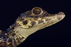 Dwarf crocodile / Osteolaemus tetraspis Stock Photos